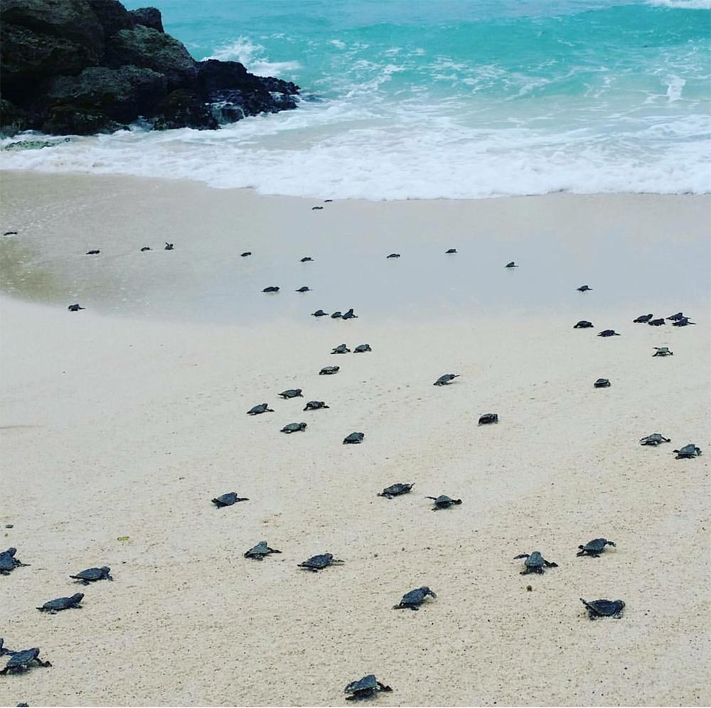 Baby turtles hatching in Barbados